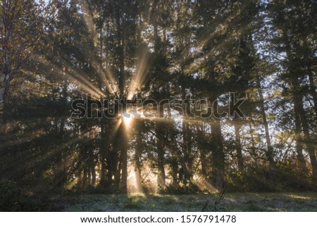 Morning sunbeams sifted by the mist between the trunks of a pine forest, in Galicia #1576791478