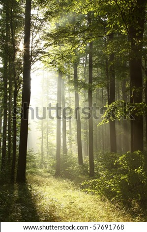 Morning sunlight backlit branches of trees in the misty forest.