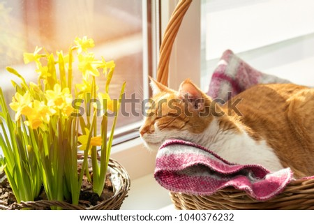 Morning sunlight on the sleeping red cat. Cute funny red-white cat on the windowsill in basket with blossom yellow daffodils, close up.