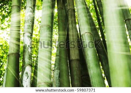 Morning sunlight shining on bamboo forest