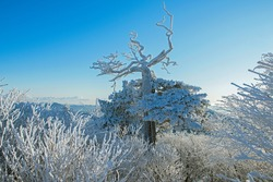 Morning view of hoarfrost on an old spreading yew(Taxus cuspidata) at Taebaeksan Mountain in morning near   Taebaek-si, South Korea