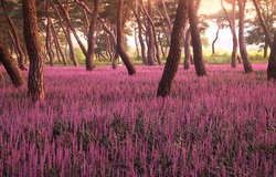 Morning view of pine trees with big blue lilyturf(Liriope muscari) at Hwangseong Park near Gyeongju-si, South Korea