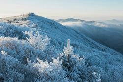 Morning view of white hoarfrost on spreading yew(Taxus cuspidata) at Taebaeksan Mountain near Taebaek-si, South Korea