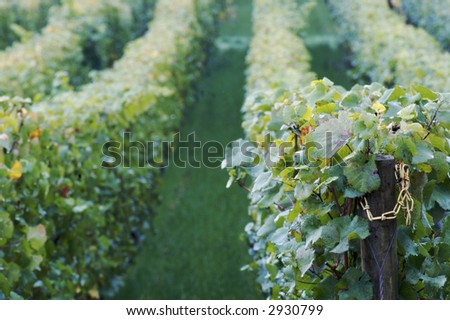 Morning Vineyard