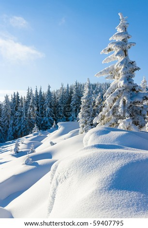 Morning winter calm mountain landscape with beautiful fir trees  on slope (Carpathian Mountains, Ukraine)