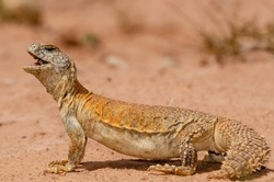 Moroccan Spiny-tailed Lizard sunbathing and in defensive posture