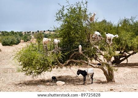 Morocco, Essaouira: goats on Argan tree eating fruits.