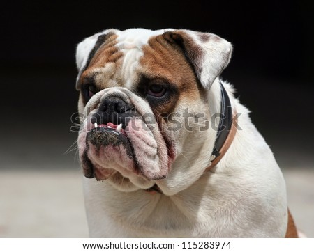Morose young English Bulldog looking