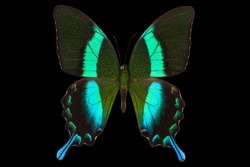Morpho butterfly isolated on a black background with clipping path. Green Swallowtail turqouise papilio