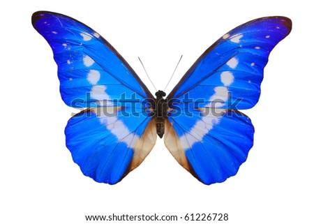 Morpho Helena butterfly close up  isolated on white.(Morpho rhetenor)