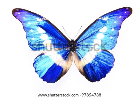 Morpho helena staudinger,Blue Purple butterfly on a lonely and isolated  white background