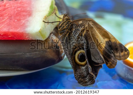 Morpho menelaus is species of butterflies of genus Morpho from family Nymphalidae. Beautiful butterfly sitting just hatched from  cocoon in park Stock photo ©