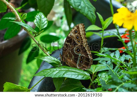 Morpho menelaus is species of butterflies of genus Morpho from family Nymphalidae. Beautiful butterfly sitting on green plants leaf  in park Stock photo ©