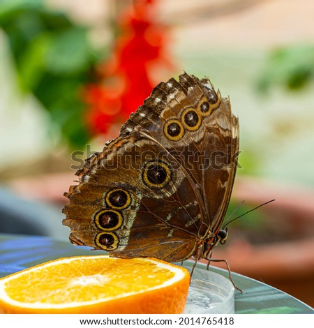 Morpho menelaus is species of butterflies of genus Morpho from family Nymphalidae. Beautiful butterfly feeding fruit in the park Stock photo ©