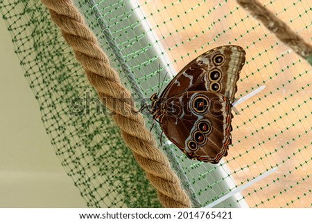 Morpho menelaus is species of butterflies of genus Morpho from family Nymphalidae. Beautiful butterfly sitting on rope in park Stock photo ©