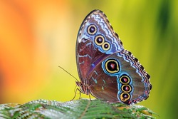Morpho menelaus, the Menelaus blue morpho, is an iridescent tropical butterfly of Central and South America