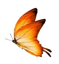 Morpho orange butterfly , isolated on white