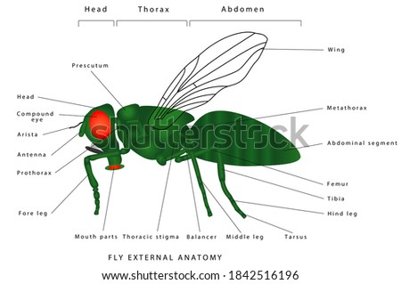 Morphology of a fly (lateral view). Insect - a realistic fly, fly silhouette. Diagram showing parts of fly.