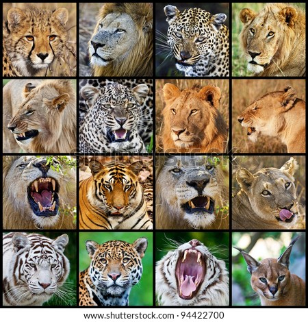 Mosaic of big cats photos
