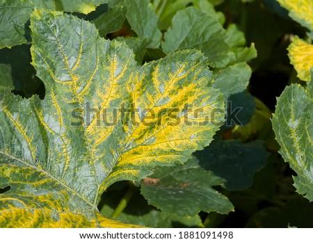 Mosaic virus (yellow zucchini mosaic virus or cucumber mosaic virus) growing on a courgette (zucchini) plant in a UK garden