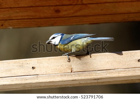 Moscow region, Russia. Blue tit (Parus caeruleus). #523791706