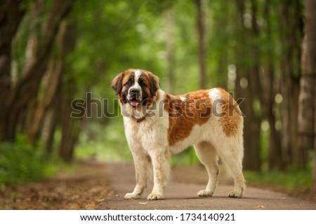 Moscow Watchdog moskovskaya storozhevaya russian breed guard dog outdoor