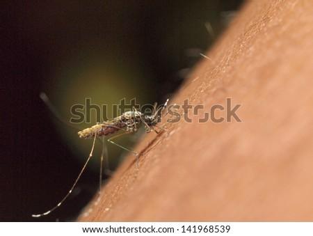 Mosquito biting a human: macro image