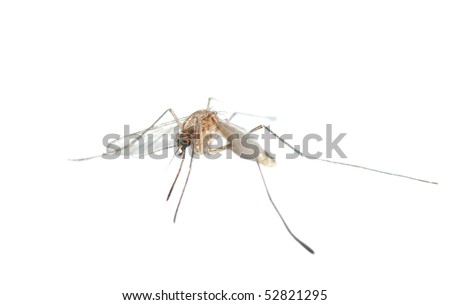 Mosquito bug isolated in white background