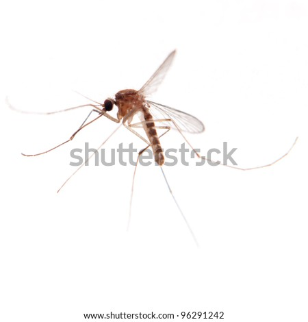 mosquito bug isolated on white