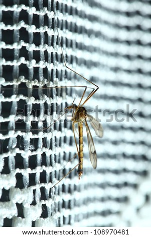 Mosquito (Culex pipiens) sitting on the net - stock photo