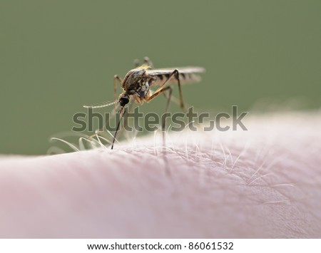 Mosquito (Culex pipiens) sucking blood on human skin, macro photography