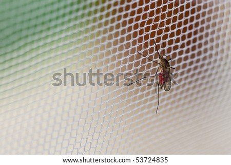Mosquito (Culex pipiens) with his stomach full of human blood sitting on the net - stock photo