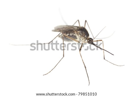 Mosquito filled with blood isolated on white background, extreme close-up with high magnification, focus on eyes - stock photo