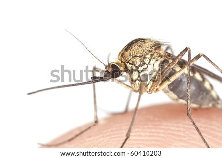 Mosquito filled with blood isolated on white background. Focus on the eyes. Extreme close-up with high magnification.