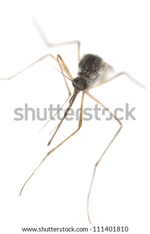 Mosquito isolated on white background, extreme close-up