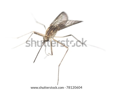Mosquito isolated on white background. Extreme close-up