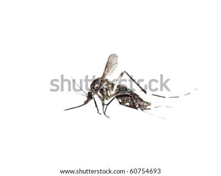 mosquito macro shot  isolated on white
