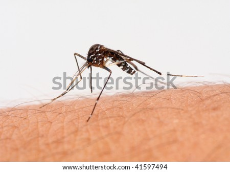 Mosquito on human skin, ready to bite.