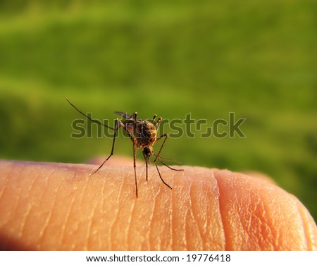 mosquito on the skin