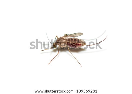 Mosquito on white with full of red blood