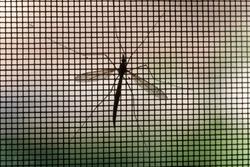 Mosquito on window screen, closeup.Selective focus.