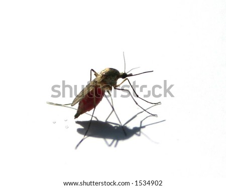 mosquito post-feed