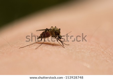 mosquito sits on the skin sucks blood