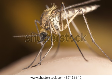 Mosquito sucking blood, extreme close-up