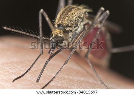 Mosquito sucking blood, extreme close-up with high magnification, focus on eyes