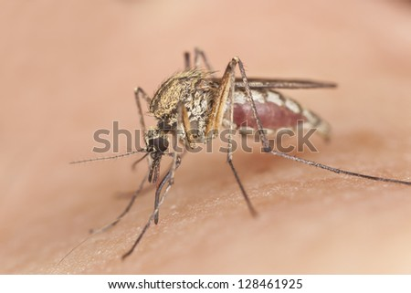 Mosquito sucking blood, macro photo