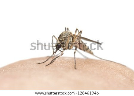 Mosquito sucking blood, macro photo with copy space