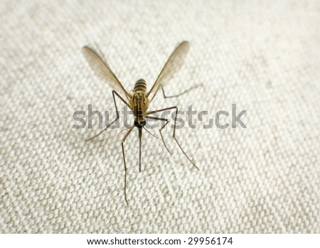 Mosquito trying to bite through a gray matter