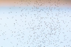 Mosquitoes flyong and swarm