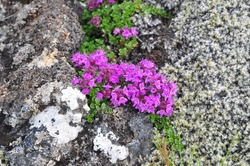 Moss and wild flowers growing on lava on Iceland's southern coast.